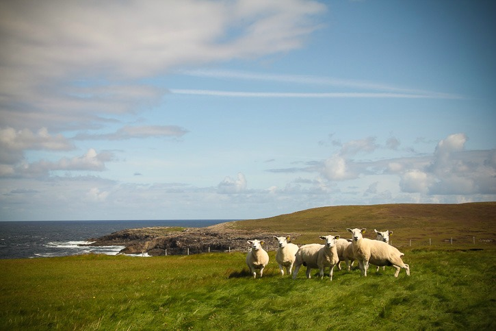 Sheep in Erris, Mayo, Ireland I @SatuVW I Destination Unknown